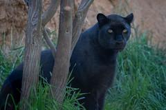 """Mystique"" (Bob Worthington Photography) Tags: zoo122918 sandiegozoo canon7dmarkii canon70200f28lisii"