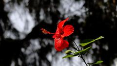 Chinesischer Roseneibisch (Hibiscus rosa-sinensis) (dl1ydn) Tags: dl1ydn hibiskus blüte blossom nature canon 3570mmf4 bokeh