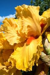 Garden 8_Iris McClenahan Park St G08_4247.jpg (stpetersgardensarmidale) Tags: asparagales iridaceae beardediris plants nature magnoliophyta monocot iridoideae plant flora iris plantae gardenweekendflickr calendar2017 phanerogamae flowering liliopsida angiospermae