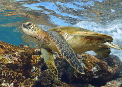 coaster (BarryFackler) Tags: reptile honaunau pacificocean underwater scuba nature barryfackler aquatic saltwater life coralreef vertebrate marinelife tropical hawaiidiving southkona zoology ecology island cheloniamydas greenseaturtle honu turtle marinereptile 2019 coral being marinebiology outdoor kona reef animal hawaiiangreenseaturtle cmydas seaturtle polynesia marine bigisland konadiving creature westhawaii marineecosystem fauna diver surface undersea sealifecamera hawaii konacoast littoral pacific ocean water seacreature dive hawaiiisland marineecology barronfackler diving seawater honaunaubay hawaiicounty sandwichislands organism biology bay sealife
