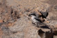 Southern Gray Shrike (moments in nature by Antje Schultner) Tags: southerngrayshrike mittelmeer raubwürger vogel bird tenerife teneriffa kanaren canaries