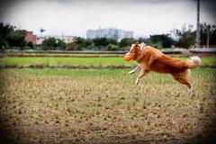 八德落羽松 (旅人74) Tags: 富士 fujifilm xt100 56mmf12 台灣 桃園 taiwan taoyuan 八德 落羽松 森林 冬天 winter brown 亞洲 asian 動物 animal 毛小孩 寵物 狗 犬 いぬ dog