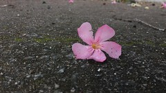 20181130_084948 (Feralysa) Tags: flor flower rosa hibisco natureza