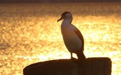 Pied Cormorant 221018 (1) (F) (Richard Collier - Wildlife and Travel Photography) Tags: birds australia australianbirds piedcormorant