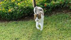 2015-09-20_16-41-16_ILCE-6000_DSC00247 (Miguel Discart (Photos Vrac)) Tags: 2015 84mm animal animalphotography animals animalsupclose animaux cat cats chat chats colakli e1670mmf4zaoss focallength84mm focallengthin35mmformat84mm holiday hotel ilce6000 iso100 kamelya kamelyaworld nature naturephotography pet sony sonyilce6000 sonyilce6000e1670mmf4zaoss summer turkey turquie vacance vacation
