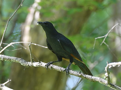 Red-winged Starling (male) (Oleg Chernyshov) Tags: краснокрылыйдлиннохвостыйскворец redwingedstarling onychognathusmorio onychognathusmoriomorio краснокрылыйскворец