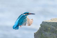 Kingfisher (Linda Martin Photography) Tags: dorset wildlife nature bird northbourne riverstour stourvalley kingfisher uk alcedoatthis naturethroughthelens coth alittlebeauty coth5 ngc specanimal npc
