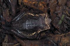xenophrys baluensis (Kinabalu horned frog) (methosphang) Tags: megophryidae amphibian frog anura xenophrysbaluensis xenophrys baluensis megophrys kinabaluhornedfrog hornedfrog malaysia borneo sabah kinabalu