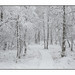 Winter Woodland (Alan-Taylor) Tags: malham malhamtarn woodland winter snow tree silverbirch boardwalk tarnmoss yorkshire yorkshiredales