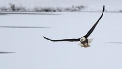 Catch Of The Day (Bill G Moore) Tags: naturephotography birdofprey americanbaldeagle billmoore raptor wild wildlife canon colorado snow ice winter fish