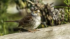 White-throated Sparrow (Bob Gunderson) Tags: birds california fortmason northerncalifornia sanfrancisco sparrows sparrowsjuncostowhees whitethroatedsparrow zonotrichiaalbicollis