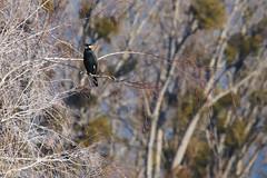 Phalacrocorax carbo (Great cormorant, Grand cormoran) (Sophie Giriens) Tags: phalacrocorax carbo cormoran great cormorant grand plumage nuptial breeding season