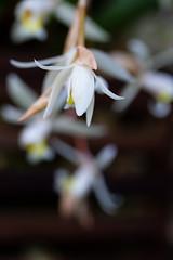 Let it Snows (Bloui) Tags: 2019 botanicalgarden eos7d jardinbotanique january serres montréal québec flowers orchid white