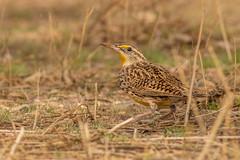 Western Meadowlark (gilamonster8) Tags: bokeh 7dmarkii wildlife natuesbest flickr animal bird naturetop westernmeadowlark arizona canon eos ngc tucson