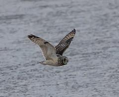 Rainham 02.02.19 flying Short-eared Owl