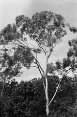 Gum tree, I guess (Matthew Paul Argall) Tags: beirettevsn 35mmfilm blackandwhite blackandwhitefilm 100isofilm kentmere100 tree gumtree plant plants