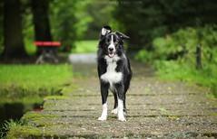 Golden boy (Wioletta Mierzyńska) Tags: border collie bordercollie dog pet animal dogphotography dogportrait portrait dogphoto dogpicture animalphotography petphotography summer