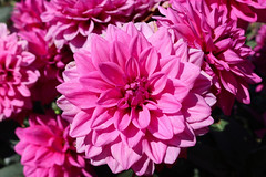 Vacances_0828 (Joanbrebo) Tags: mainau konstanz badenwürttemberg de deutschland flors flores flowers fiori fleur blumen blossom canoneos80d eosd autofocus contactgroups