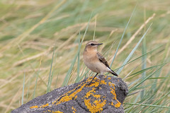 (Explore) Northern Wheatear (Oenanthe oenanthe) Tapuit (Ron Winkler nature) Tags: northern wheatear oenantheoenanthe oenanthe tapuit bird birding birdwatching birdwatcher nature wildlife netherlands nederland europe canon 7dii 100400ii