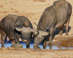 African Buffaloes (Syncerus caffer) old bulls drinking ... (berniedup) Tags: africanbuffalo synceruscaffer addo buffalo taxonomy:binomial=synceruscaffer
