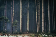 February VII (der_peste (on/off)) Tags: forest woods woodland trees mist fog mood moody atmosphere haunted lurky murky sombre