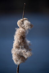 Fluffy reed (_K1_6036) (Ross G. Strachan Photography) Tags: britishcolumbia canada lostlagoon stanleypark vancouver animals heron raccoon wildlife ca