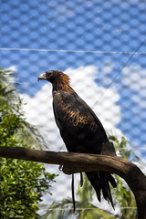 Wedge-tailed Eagle at Australia Zoo (do_japan) Tags: bird feather beak plumage wing aquila audax wedgetailed eagle sunshine coast animal queensland zoo australia bunjil