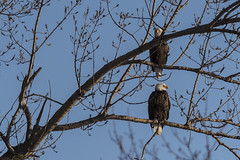 (The Transit Photographer) Tags: birds raptors eagles northernbaldeagles thehappycouple kingstonwaterfront