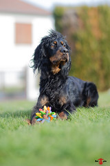 Miha (cyrillevasseur) Tags: canon samyang chien setter 6d f14