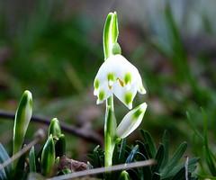"""Ein """"Februar""""-Becher :-) (isajachevalier) Tags: blüte blume pflanze märzenbecher garten natur panasonicdmcfz150"""