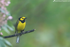 Hooded Warbler in Fog (geno k) Tags: hoodedwarbler blueridgeparkway fog warbler mountainlaurel pink yellow