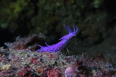 Pink Flabellina (waielbi) Tags: flabellina affinis sea slug nudibranchia nudibranch nature scuba ulysseplongée