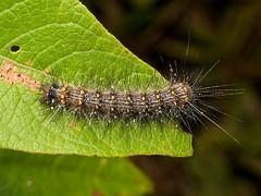 Caterpillar (Eerika Schulz) Tags: schmetterlingsraupe caterpillar raupe ecuador puyo eerika schulz
