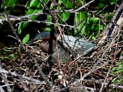héron vert (green heron) (gillesC) Tags: butoridesvirescens