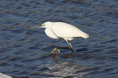 Little Egret Selection (Dougie Edmond) Tags: bird water wader nature wildlife