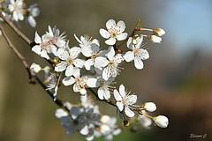 Blossom for Sunday (Eleanor (No multiple invites please)) Tags: blossom flowers whiteblossom regentspark london nikond7200 february2019