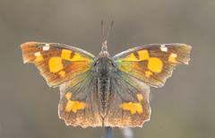 Libythea celtis (Torok_Bea) Tags: libythea celtis libytheaceltis csőröslepke pilismountain sigma sigma105 sigma105mm nikon nikond7200 natur nature nationalpark amazing wonderful butterfly lepke papilion budaihegység