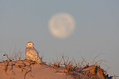 NYE Ball Drop... Happy new Year! (DTT67) Tags: moon snowyowl newyearsballdrop owl wildlife nature beach dunes bird raptor canon 1dxmkii dawn datbreak moonfall