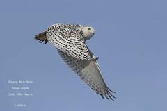 Snowy Owl / Harfang des neiges (shimmer5641) Tags: buboscandiacus snowyowl harfangdesneiges búhonival owl raptor birdofprey birdsofnorthamerica arcticbird strigidaefamily