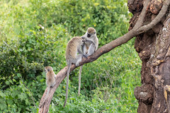 Grooming (Jill Clardy) Tags: africa tanzania vantagetravel safari vervet monkey grooming picking insects tree branch ngorongoro crater family mammal