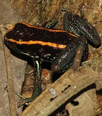 Phyllobates vittatus (Birdernaturalist) Tags: amphibian anura costarica frog herp richhoyer