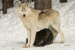 Grey Wolves (stitchersue) Tags: wolves greywolves behaviour dominance haliburtonforest captive winter snow ontario canada