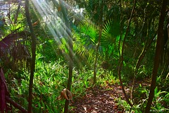 A Ray Of Sunshine (surfcaster9) Tags: marsh palms wetlands florida lumixg7 ferns tree outdoors nature panasonic trail