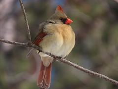 My eyes are up here! (Meryl Raddatz) Tags: bird cardinal nature naturephotography canada