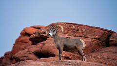 The Observer (Rob McC) Tags: animal mammal fauna bighorn sheep environment valleyoffire rock sandstone hill horn nevada usa oviscanadensis