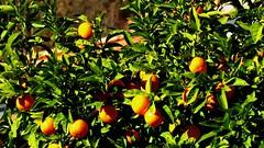 L'oranger (bernard.bonifassi) Tags: bb088 06 alpesmaritimes 2018 janvier eu canonsx60 counteadenissa fruit agrume oranger orange