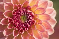 Derniers instants de plaisir -* (Titole) Tags: dahlia petals pink nicolefaton titole thechallengefactory