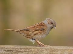 Dunnock (PhotoLoonie) Tags: bird dunnock wildbird avian nature wildlife