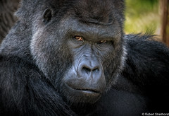 Dapper (Robert Streithorst) Tags: cincinnatizoo eyes fur gorilla greatape handsome male robertstreithorst silverback zoosofnorthamerica