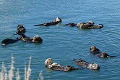 Seeotter - Sea Otter (ivlys) Tags: usa california morrobay seeotter seaotter tier animal wasser water natur nature video ivlys